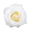 biela ruža