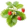 lesné jahody